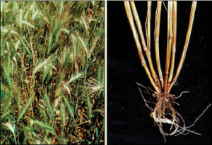 Crown Rot in Wheat