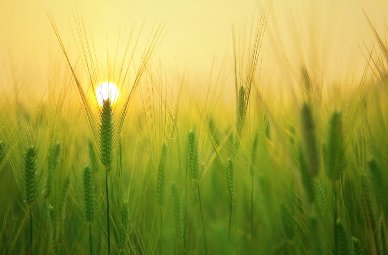 Young wheat field sun
