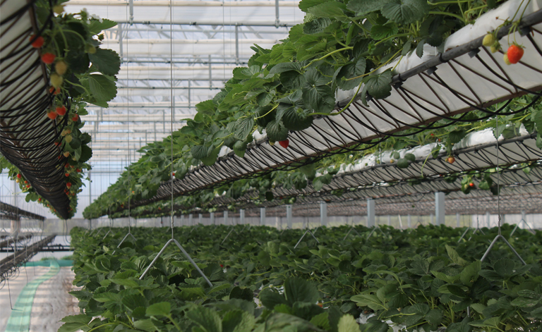 sundrop farms